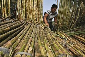 Sugarcane farmers in Uttar Pradesh