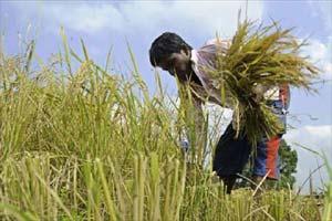 Rice, GM rice