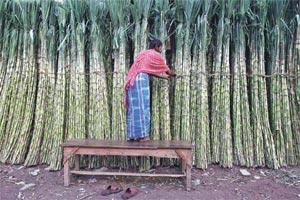 sugarcane farming, sugarcane cultivation in India, sugarcane farmer salary, sugarcane farmer India