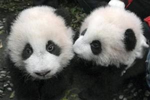 panda conservation, climate change, climate conservation