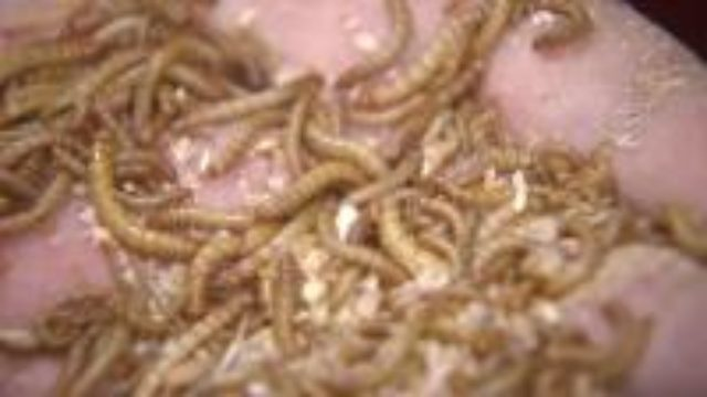 Mealworms and a side of cricket