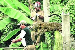 Though more in number than the tiger, the leopard is no less endangered, as a slew of recent instances across the country point out.