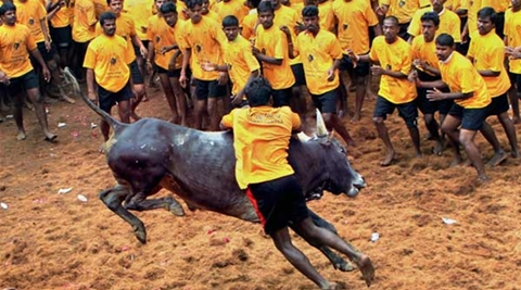 In a major blow to Tamil Nadu, the Supreme Court on Thursday turned down a plea seeking its intervention to pass judgment on Jallikattu before Saturday. (PTI)