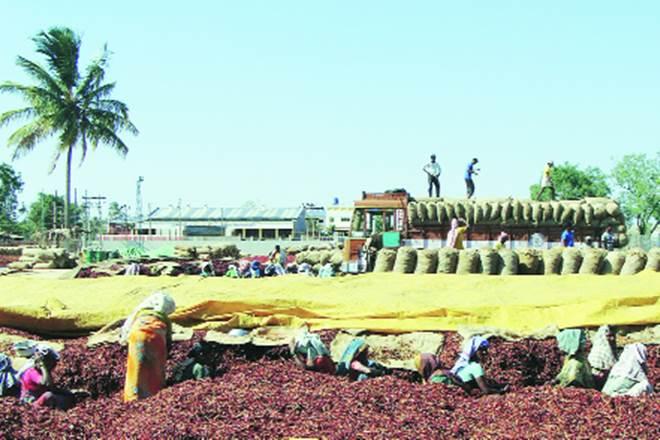 Chilli, Chilli farmers, Chilli farmers in Telangana, Chilli farmers in Andhra Pradesh, Telangana's irrigation, TPCC, retail market price