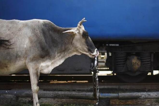 Animal markets, pashu haat, pashu mela, buy cattle, slaughtering cow, environment ministry, cruelty to animals, bulls, cows, buffalos, camels
