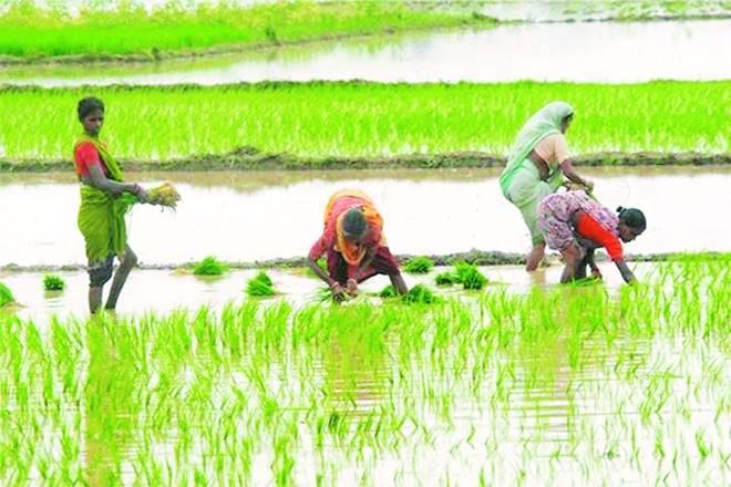 Monsoon in India, Monsoon report, Rain hits kharif, kharif crops, kharif crops in India, paddy, tobacco, India Meteorological Department, AXIS Capital, rainfall, rainfall in india, rainfall in karnataka