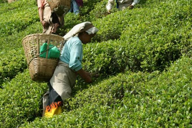tea, tea consumption in india, NSS, National Sample Survey, Camellis sinensis, tea import, tea import in india, tea estates, tea estates in india, Plantations Labour Act