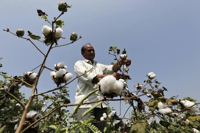 Cotton output , Cotton
