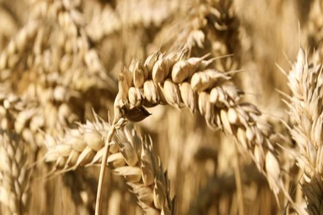 cheaper imports, Indian wheat, wheat security