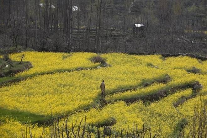 GM mustard, Bt brinjal, Bt cotton, MNC, agricultural universities, Brassica, Delhi University, GM canola, European canola, North America, Canada, Europe