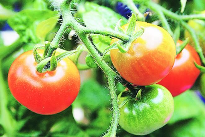 tomato prices, tomato price hike, tomato price ups, tomato price in whole sale market