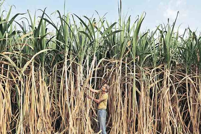 Uttar Pradesh, Sugar Industry, Sugar, UP