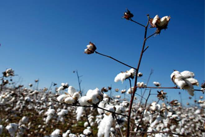 cotton seed market, cotton seed market in india, agriculture ministry, agriculture ministry on cotton market, herbicide-tolerant cotton, Environment Protection Act, CICR, HT cotton, agriculture