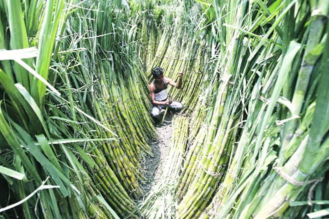 sugarcane, sugarcane price, sugarcane price in maharashtra, sugarcane for farmers, Maharashtra farmer bodies, Maharashtra farmer, Swabhimani Shetkari Sanghatana, sugar factories