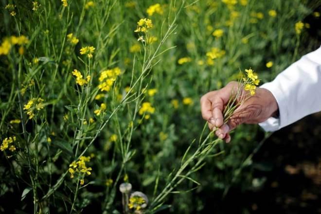 GM Mustard,Narendra Modi government,GEAC,Rajya Sabha,MoEFCC,GM cotton,Monsanto,GM technology