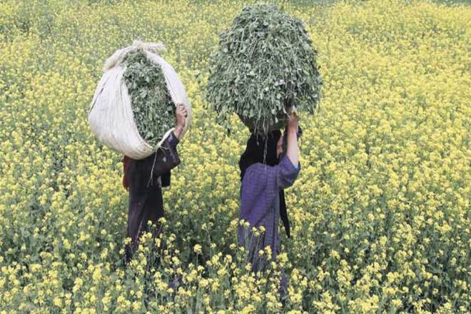 BT Cotton, BT Cotton industry, BT Cotton industry in india, herbicide-tolerant, NDA government, National Innovation Council, Sam Pitroda, decentralise innovation, Global Innovation Index, Mahyco Monsanto Biotech, HT cotton, HT cotton seeds