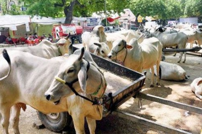 cattle sale for slaughter ban, cattle sale ban, cattle slaughter ban, beef ban, cattle ban notification, cattle notification
