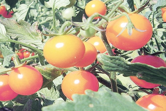 tomato fetish,tomatoprice,tomatoprises,weigh heavy on wallet,Retail prices of tomatoes,Vegetable Growers Association of India,disease attack