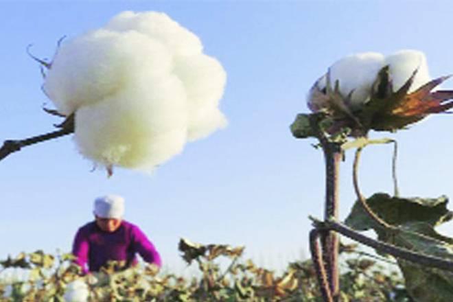 NSAI,pink bollworm,CICR,Monsanto Bt II technology,Bollgard II,Maharashtra, cotton seeds,Cotton cultivators ,FSII,NDRF,Maharashtra agriculture minister,Maharashtra Cotton Seeds