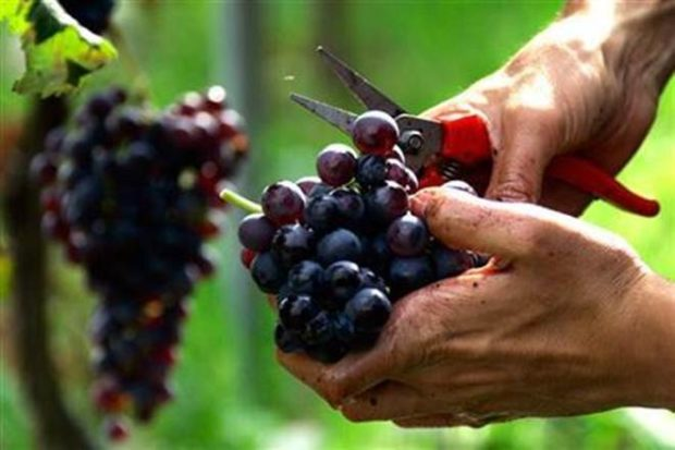 indian grape,Indian grape producers,Russia, China, EU