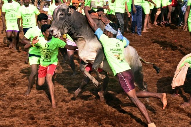 Jallikattu death in Madurai, Tamil Nadu