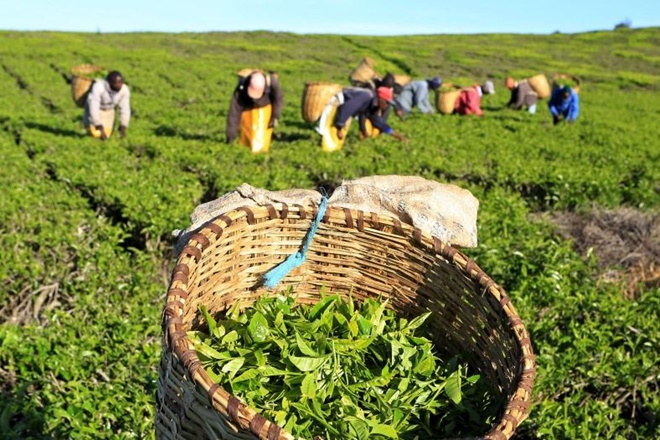 global shortfall, india tea industry, domestic demands, price recovery, auction price, tea producers