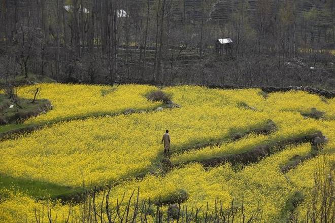 gm mustard, what is gm mustard, problems in harvesting gm mustard