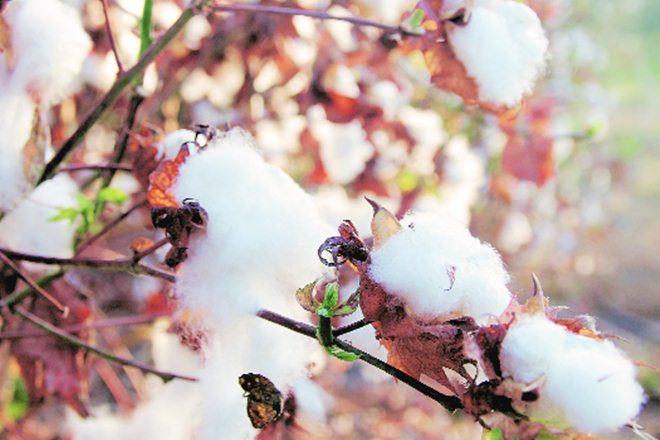cotton, cotton body, Cotton Association of India, CAI, cotton crop, cotton crop harvest, cotton harvest, total cotton supply