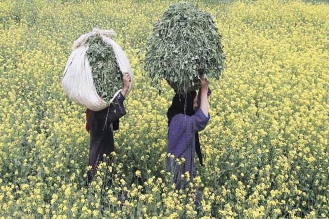 cotton exports,productivity,Monsanto technology, modi government,farmers