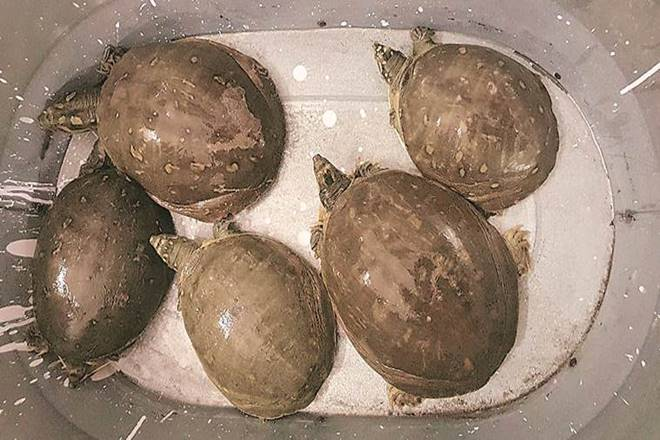 Delhi: The five Indian softshell turtles recovered from the car