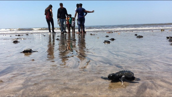 After a gap of over two decades, Olive Ridley turtles made an appearance on Mumbai's Versova beach. (Image Credits: Afroz Shah/Twitter)