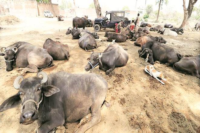 cattle trade, cattle trade in india, buffaloes, camels