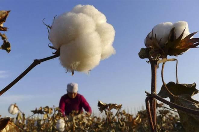cotton, GM crop,Monsanto,ASG