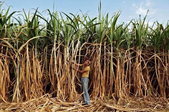 sugarcane production, harvest, sugar, india