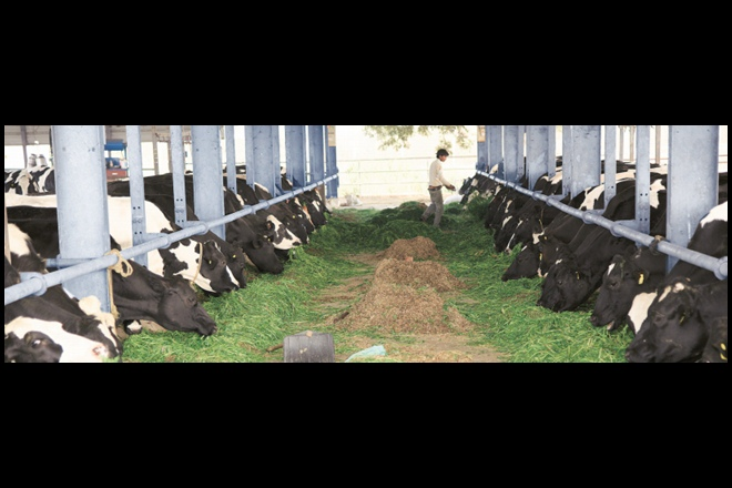 iOrganics has a herd size of 350 cows on a 100-acre farm in Sonipat, Haryana.