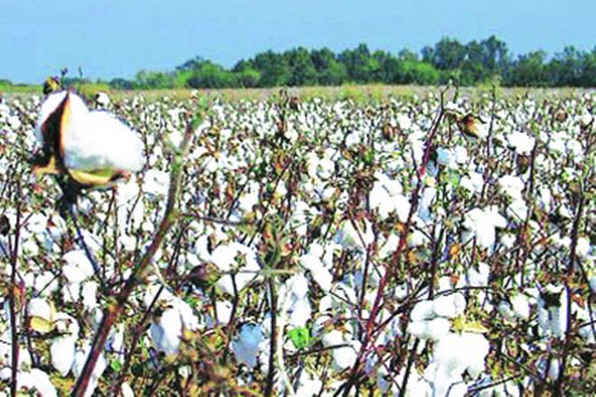 cotton, gm cotton