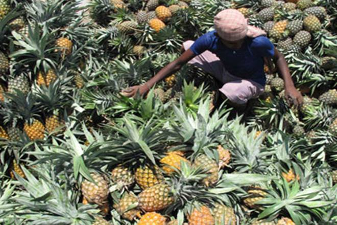 pineapple, pineapple trade, centre, export policy