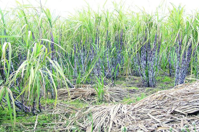 sugarcane industry, sugar, india, economy, agriculture sector