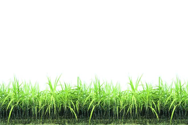 sugar, sugar mills, isma