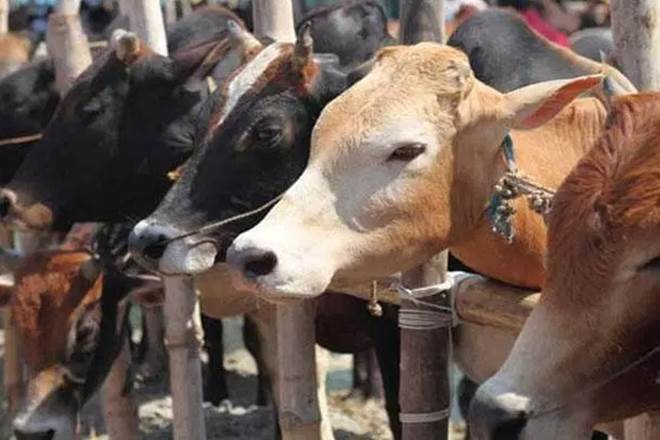 cow, cow shelter, cow ministry, madhya pradesh, Swami Akhileshwaranand Giri