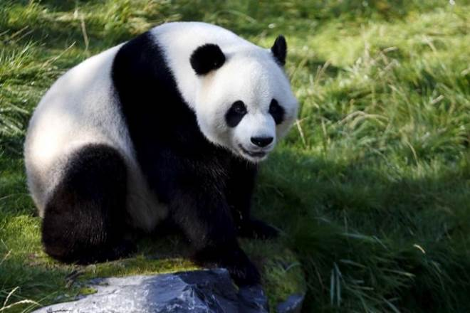 old fossil, oldest oanda dna, worlds oldest dna evidence, china oldest fossil, ancient panda,Cizhutuo panda,Chinese Academy of Sciences,Shaanxi province,Sichuan provinces,ancient cave specimen,Cizhutuo panda nuclear DNA,ancient panda's distinct habitat, present day pandas