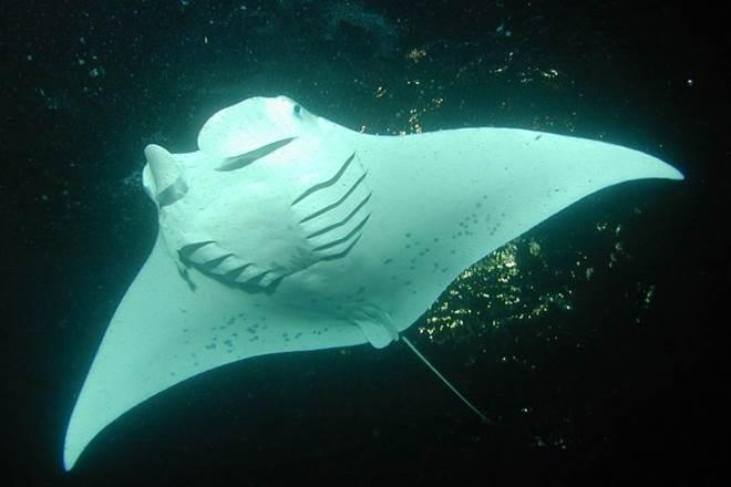 manta ray nursery, NOAA, world's first manta ray nursery, Flower Garden Banks National Marine Sanctuary
