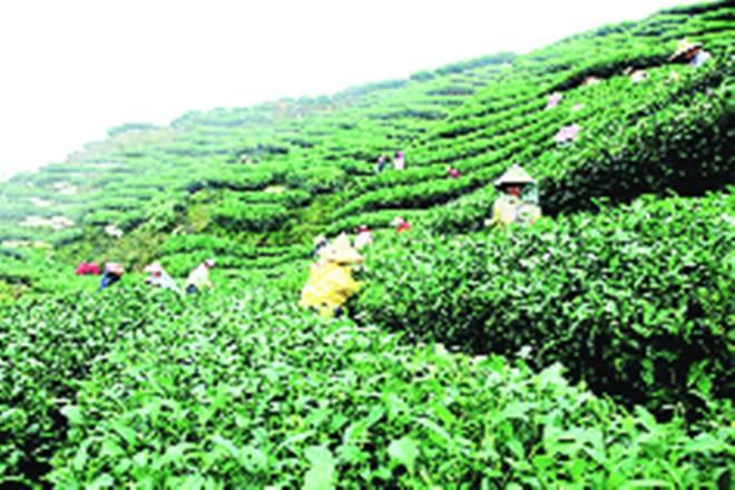 icra, tea plantation