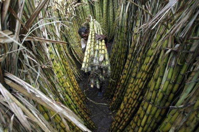 sugarcane, cane, sugar, sugarcane industry, sugar industry