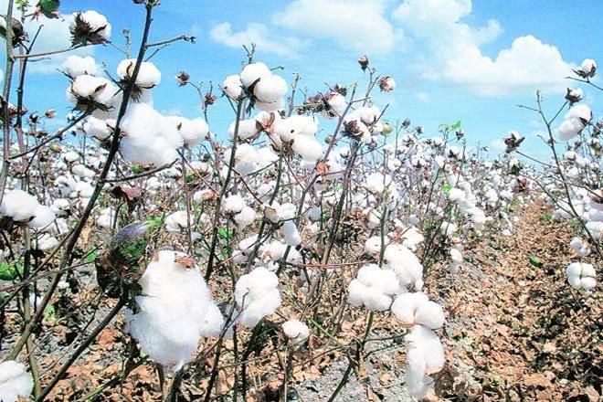 Cotton Association of India,Cotton Body,MNC,Upper Rajasthan,cotton consumption