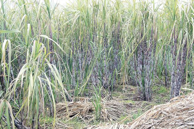 Maharashtra,Maharashtra cane crushing season,sugar factories,raw sugar,sick sugar factory
