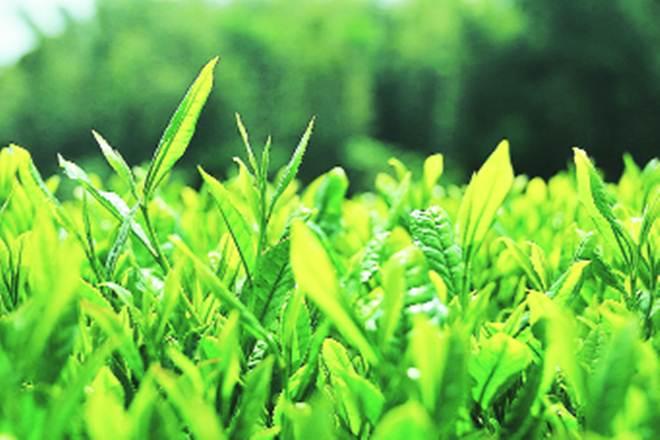 tea plant, tea plantation