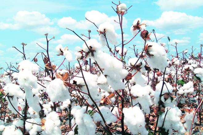 cotton, cotton industry