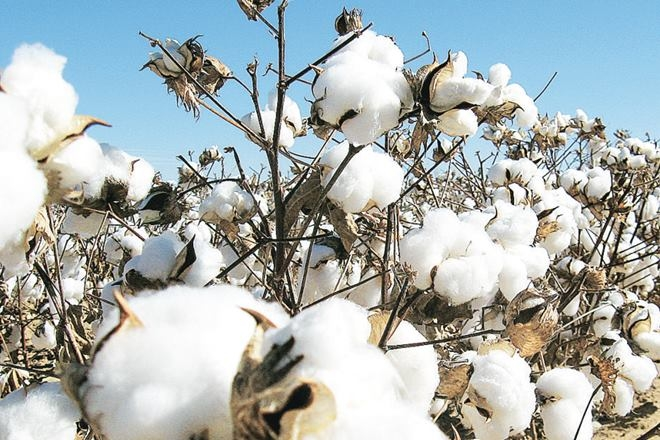 cotton, cotton industry, farming sector