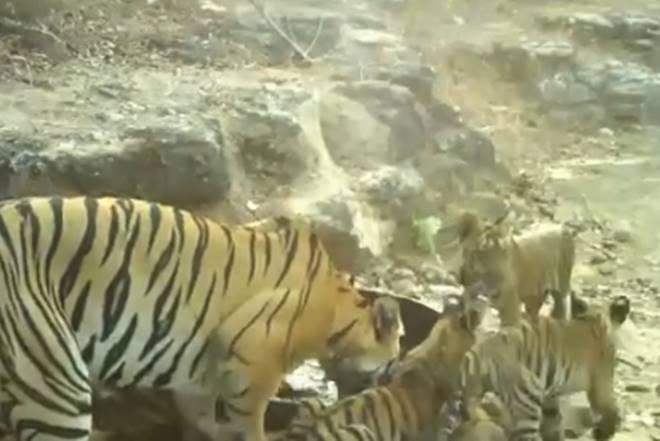 TIGER, chanrapur, tiger in chandrapur, tiger chandrapur maharashtra, maharashtra chandrapur, tiger family video chandrapur